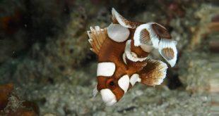 Plectorhynchus chaetodonoides