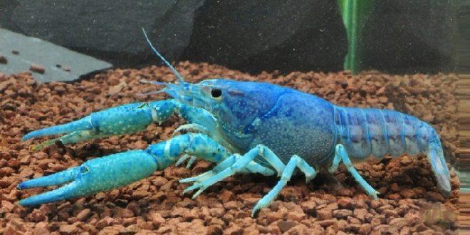 Procambarus alleni