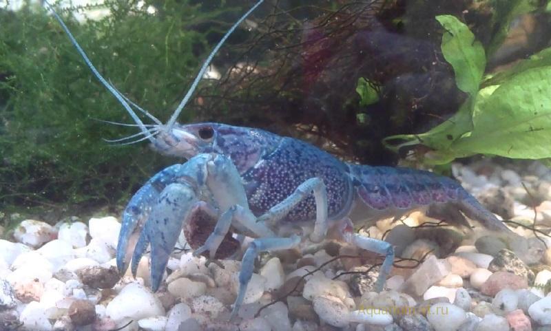 Рак флоридский в аквариуме