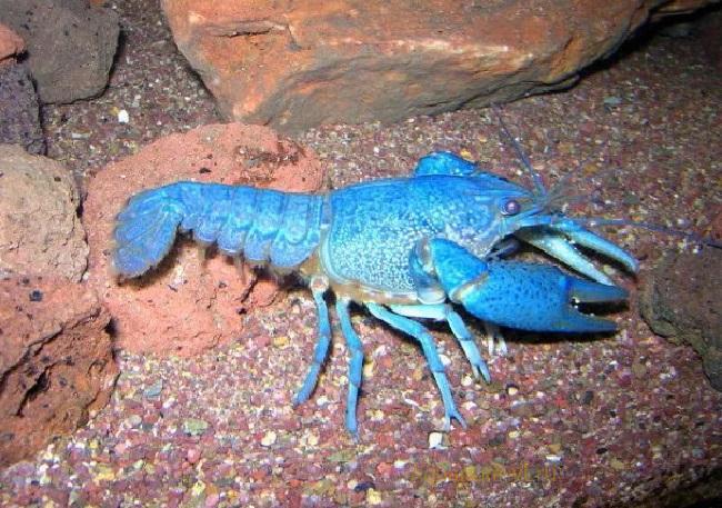 Кормление флоридского синего рака