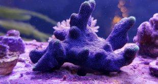 Псаммокора коралл
