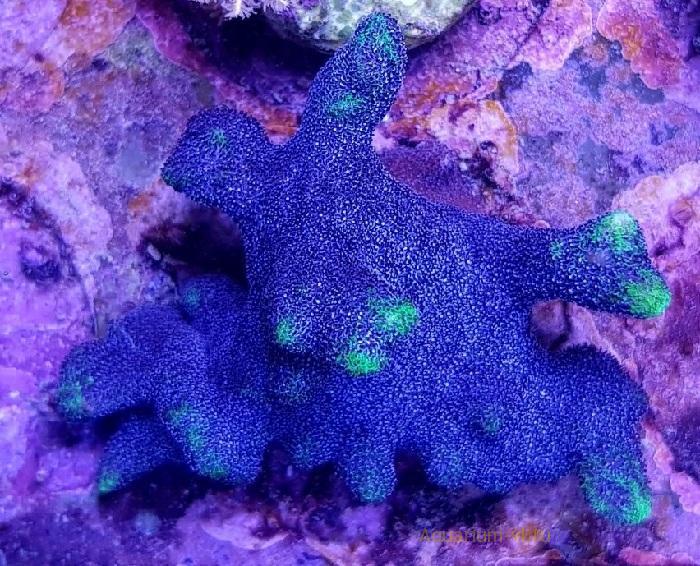 Кормление кораллов Psammocora spp.