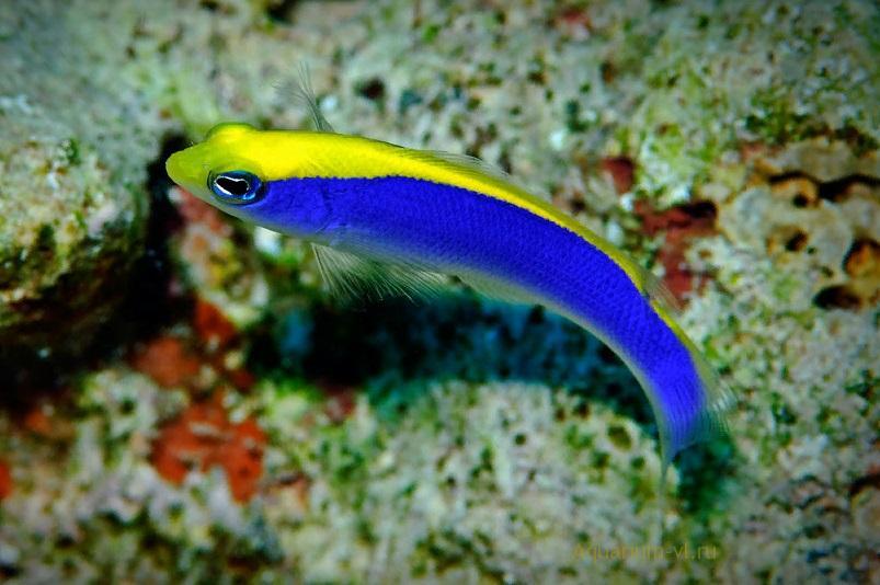 Псевдохромис желтоспинный морская рыбка