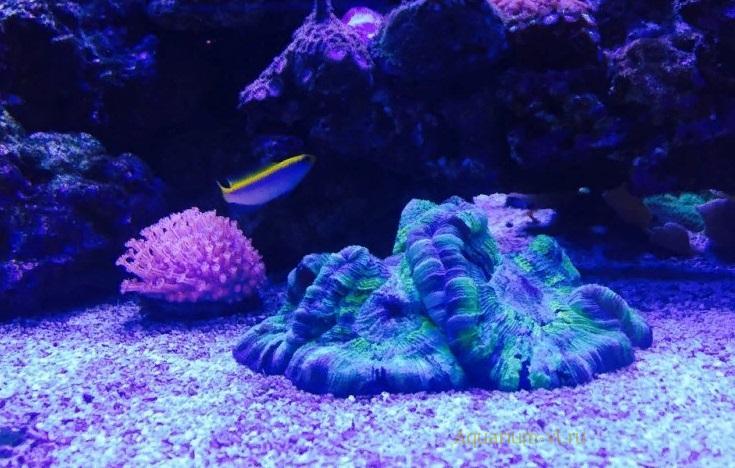 Pseudochromis flavivertex