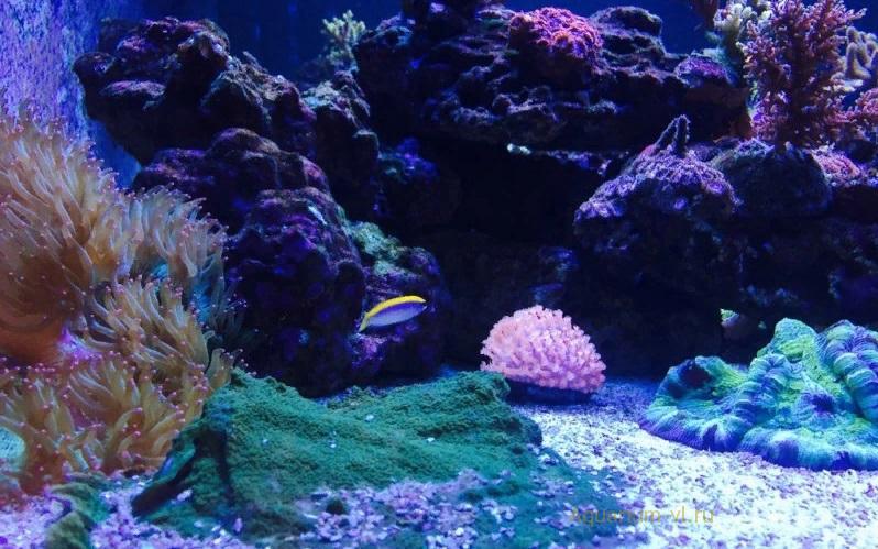 Псевдохромис желтоспинный в аквариуме
