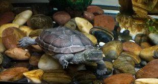 Видео красноухая черепаха и Ривза в аквариуме 600 л с рыбками