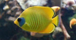 Масковая рыба-бабочка