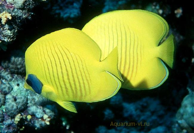 Масковая рыба-бабочка в аквариуме