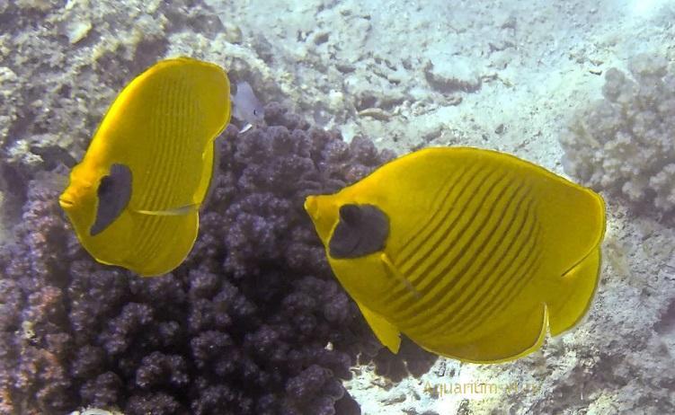 РАЗМНОЖЕНИЕ. Масковая рыба-бабочка
