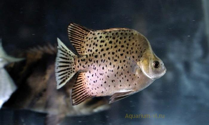 Скатофагус – крупная, подвижная рыба