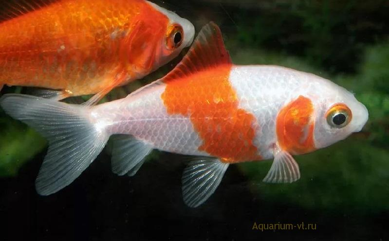Содержание золотых рыбок в аквариуме