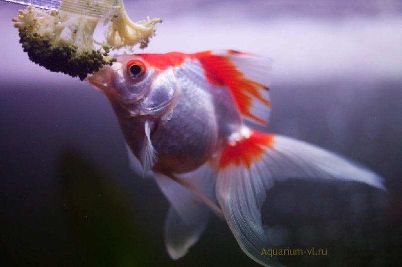 Чем кормить золотых рыбок в аквариуме