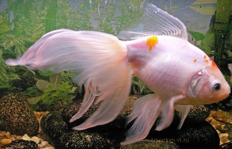 С кем живут золотые рыбки в аквариуме