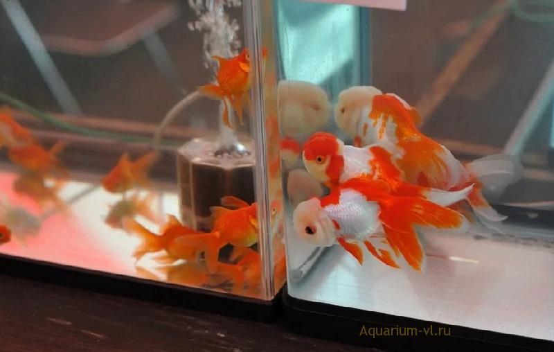 Размножение золотых рыбок в аквариуме