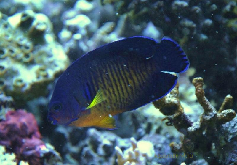 Centropyge bispinosus – самый неприхотливый вид
