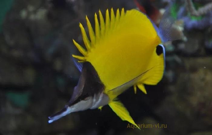 Бабочка-пинцет – плотоядная рыбка