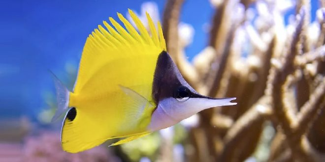 Аквариумная Рыба-пинцет
