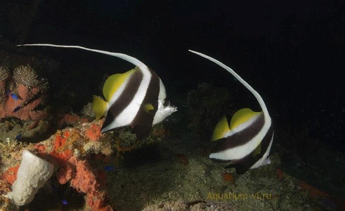 Поведение в аквариуме: Бабочка вымпельная белопёрая