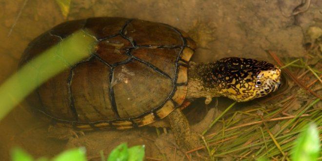 Пенсильванская иловая черепаха