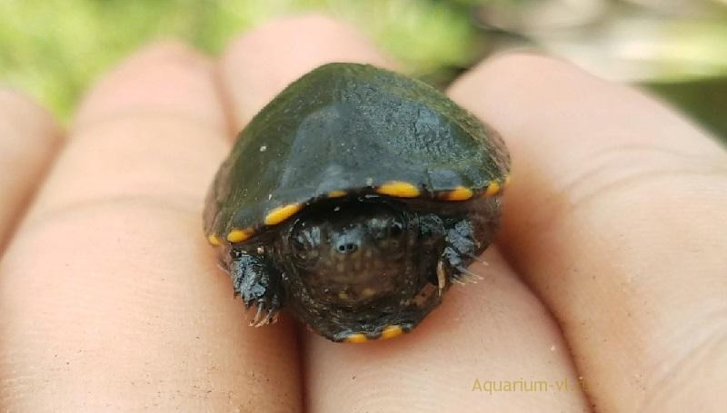 Размножение пенсивальнской черепахи