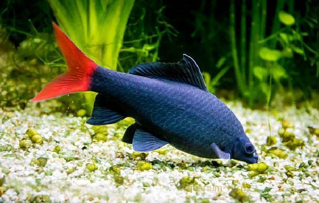 Лабео двухцветный (биколор) в аквариуме