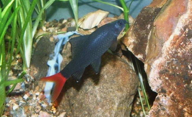 Лабео двухцветного называют red tail shark