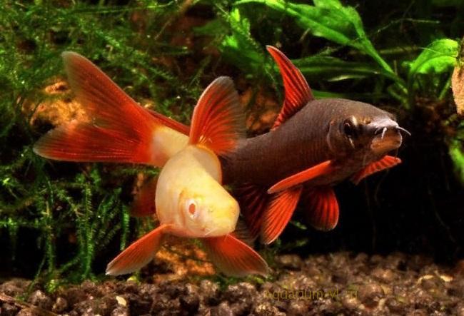 Поведение в аквариуме. Лабео сизый
