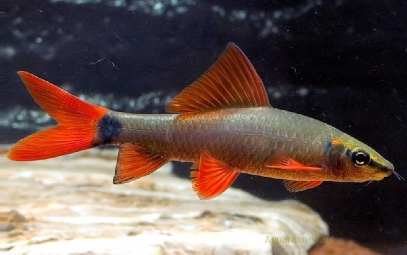 Аквариумная рыбка Лабео зелёный