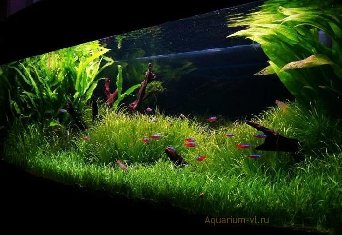 Неприхотливые аквариумные растения: Лилеопсис бразильский
