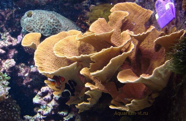 Монтипора в аквариуме