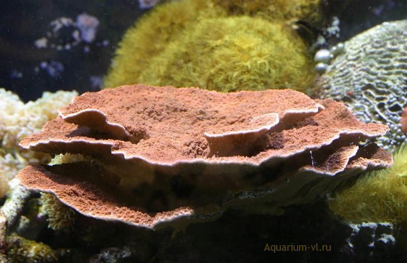 Содержание кораллов в аквариуме
