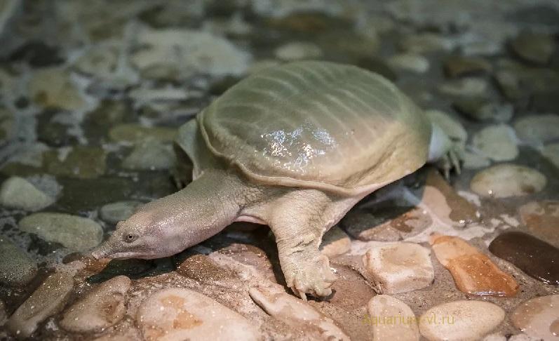 Китайская или амурская мягкотелая черепаха