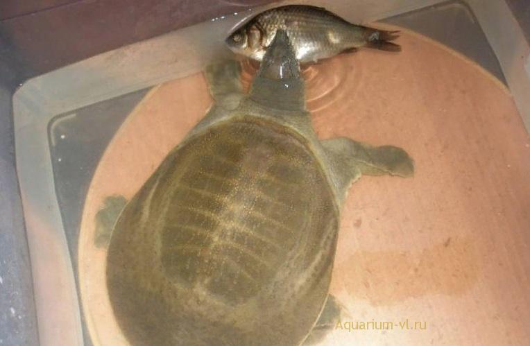 амурская мягкотелая черепаха