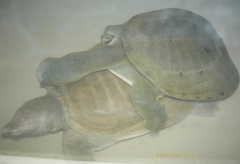 Китайский трионикс размножение