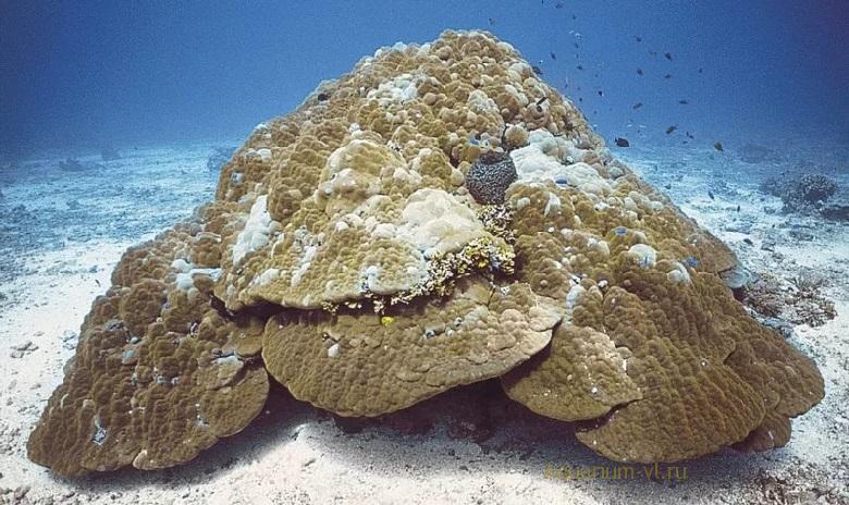 Поритес коралл