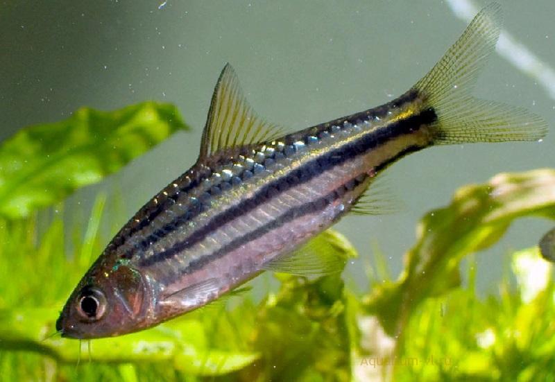 Аквариумная рыбка Барбус четырёхлинейный