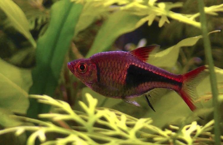 Аквариумная рыбка Расбора клинопятнистая