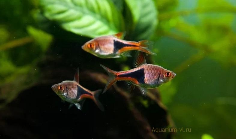 Расбора клинопятнистая в аквариуме