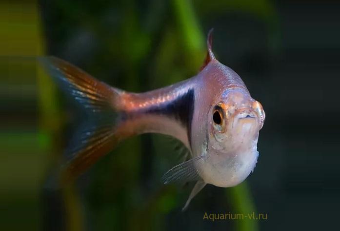 Расбора клинопятнистая: размножение