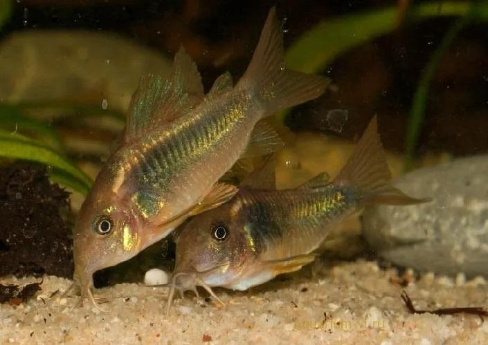 Золотистый сомик в аквариуме