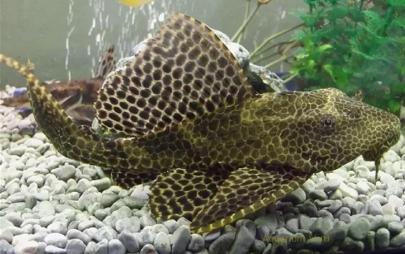 Плекостомус обыкновенный в аквариуме
