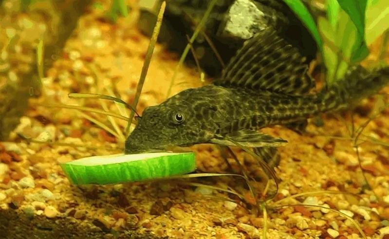 Кормление В рационе присутствует больше растительный корм, например нитчатые водоросли, от которых плекостомусы очищают аквариум. Однако только наростами они питаться не могут. Дополнительная еда для рыбок в их случае: корм в пластинках и мягкие овощи (вареные кабачки, шпинат, зеленый салат, огурцы, салат латук, капуста) и живые корма (земляные черви, личинки насекомых, мотыль, мелкие беспозвоночные). Время кормления – вечером, незадолго до выключения освещения в аквариуме