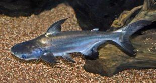 Пангасиус сиамский