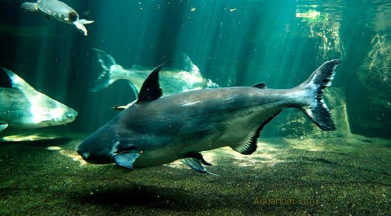 Пангасиус сиамский «акулий сом»