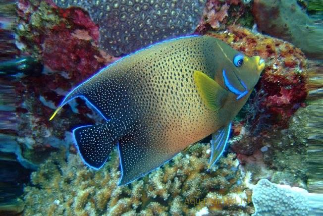 Морская рыбка Ангел полукруглый