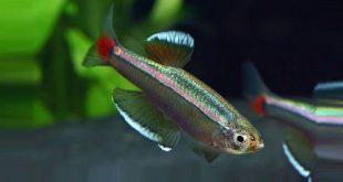 Аквариумные рыбки Кардинал