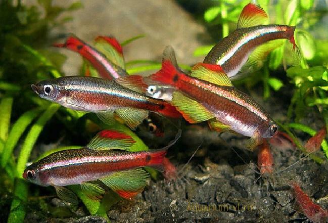 Кардинал рыбка: содержание, размножение, фото