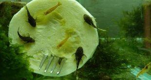 Чем можно разнообразить рацион аквариумных рыбок