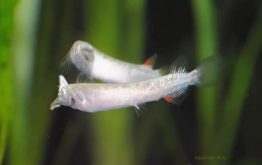 Кормление рыбки Дермогенис бойцовый