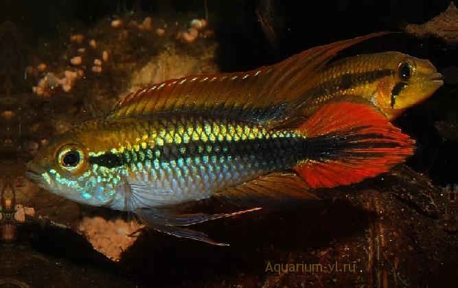 Аквариумная рыбка Апистограмма Агассица